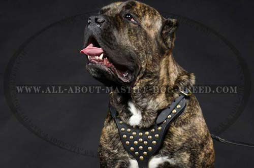 Showy leather Mastiff harness