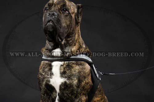 Reflective Cane Corso nylon harness