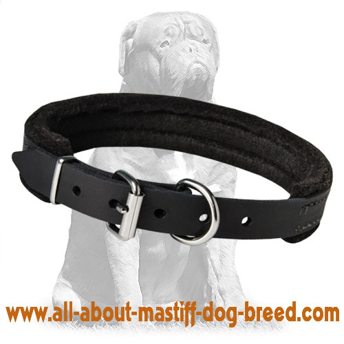 Extra strong training Mastiff collar