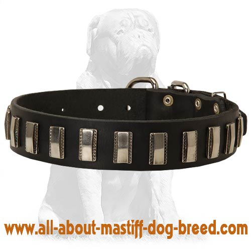 Daily Mastiff collar with nickel plates