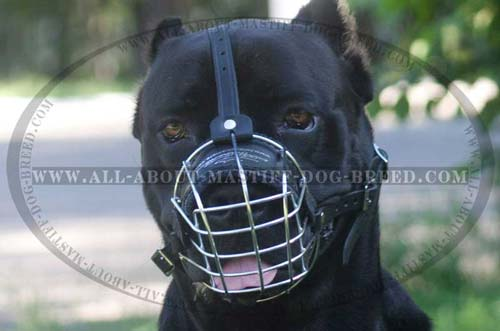 Cane Corso everyday ventilated muzzle