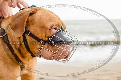 Perfectly ventilated French Mastiff muzzle